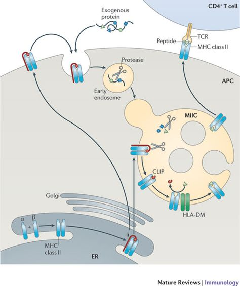 Towards a systems understanding of MHC class I and MHC class II antigen presentation