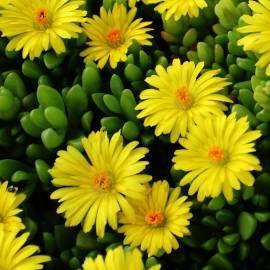 Slonecznica Wysokogorska Delosperma Lineare Plants