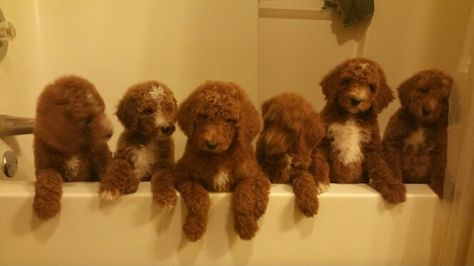 Standard Poodles Are So Regal Poodle Puppies For Sale Dogs Poodle