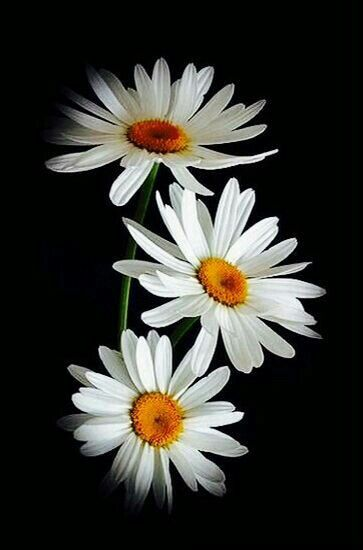 Black background with white daises