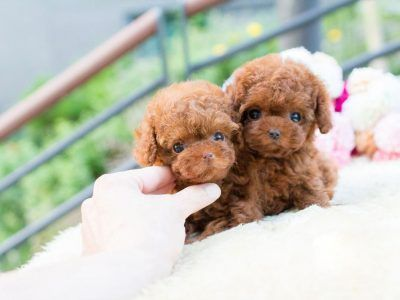 Bridget Red Poodle With Images Poodle Puppies For Sale Cute German Shepherd Puppies Poodle Puppy
