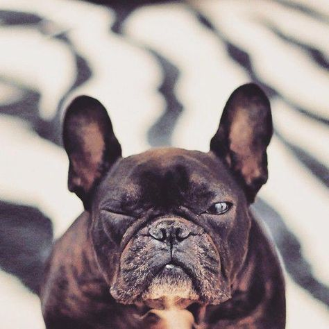 The Alert Frenchie Puppy Exercise Needs