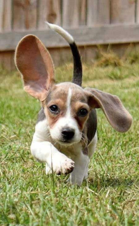 Find Out More On The Loving Beagle Puppies Temperament Beagledog