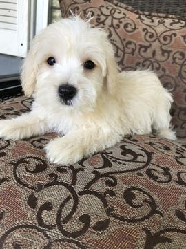 Poodle Toy West Highland White Terrier Mix Puppy For Sale In