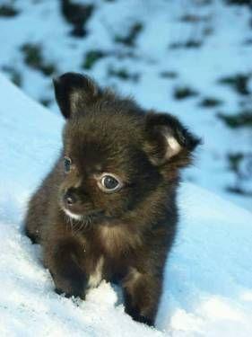 Chihuahua Welpe Sucht Mitte Januar Ein Liebevolles Zuhause In Mecklenburg Vorpommern Animals Dogs Cutie