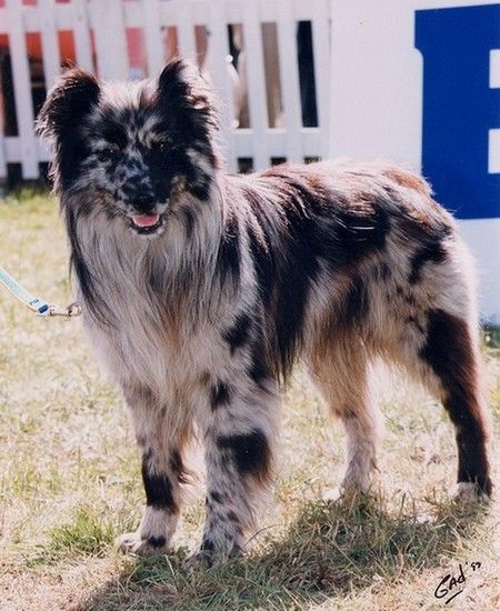 Berger Des Pyrenees In 2020 Dogs Rough Collie Pyrenean Shepherd
