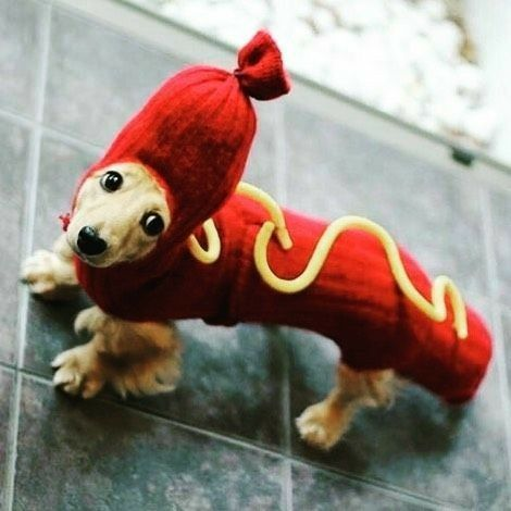 Dachshund Longhaired Cute Puppies Dachshund Costume Dog Costumes