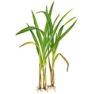 Cymbopogon Citratus Lemon Grass Poaceae Rhizomateous Perennial Grass From Grow Lemongrass Lemon Grass Lemongrass Plant
