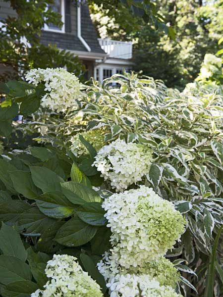 Shrubs give this garden its lush, carefree beauty. Here, a flowering 'Limelight' hydrangea mingles with the cream-rimmed foliage of an Ivory Halo dogwood. | Photo: John Gruen