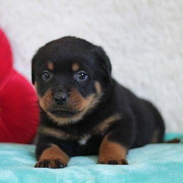 Rottweiler Puppy For Sale In Gap Pa Adn 64560 On Puppyfinder Com