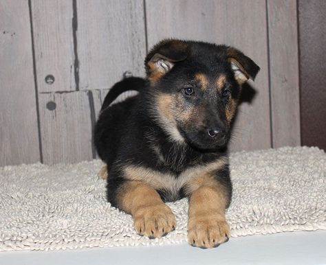 Gracelyn Puppy For Sale German Shepherd Puppies Shepherd