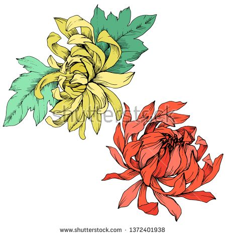 Stock Vector Vector Red And Yellow Chrysanthemum Floral Botanical Flowers Wild Spring Leaf Wildflower Isolated Engraved Ink Art Isolated Flower Illustration