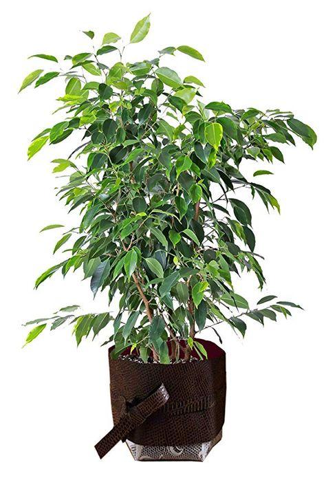 Indoor 4-5 Feeet Tall Live Plant Fit 5 Gallon Pot Ficus Tree Live Plant Benjamin Fig Live Ficus Benjamina Green aka Weeping Fig