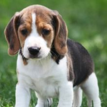 Beagle Puppies For Sale Puppyspot With Images Beagle Puppy