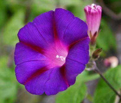 Pin By La Fata Porpora Atelier On Flowers Flower Essences Morning Glory Flowers