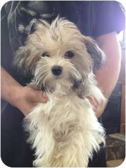 Adorable Havanese Puppy Available For Adoption In Lonedell Mo