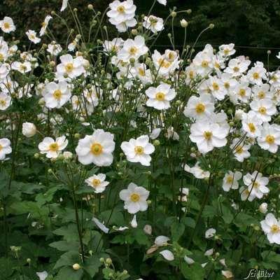Herbst Anemone Honorine Jobert Herbstanemone Vorgarten Gestalten Schattenpflanzen