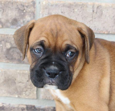 Dak Male Akc Boxer Pups For Sale Near Fort Wayne Indiana Boxer Boxerpups Puppies For Sale Boxer Puppies For Sale Boxer Dogs For Sale
