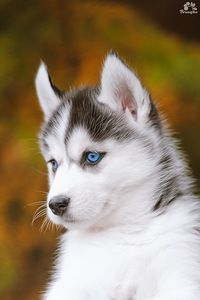 Sweet Siberian Husky Puppy His Beautiful Blue Eyes By Katerina