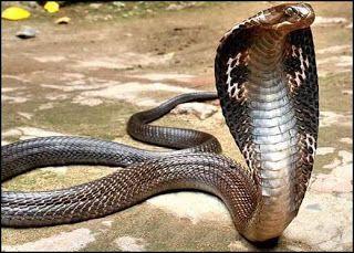 Cobras Venenosas De Todo O Mundo Parte 2 Cobras Venenosas