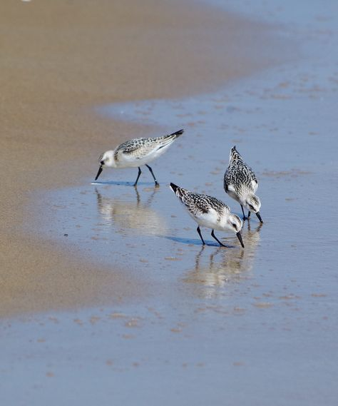 Semipalmated Sand Pipers I 2020 Fugle Billeder