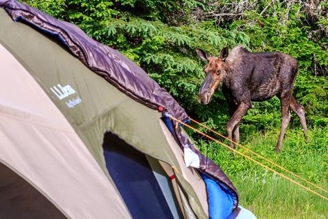Shane had an extra guest at his campsite in Baxter State Park! #LLBeanMoment #moose (Photo: Shane Borelli)
