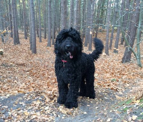 Natsnewfies Newfypoo Puppies For Sale In The Uk Newfypoo Puppies Animal Habitats Cute Animals