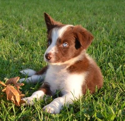 2j2k Border Collies Puppies For Sale Border Collie Puppies That Are Raised Right For You Border Collie Puppies Collie Puppies For Sale Collie Puppies