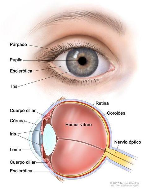 El Ojo Y Sus Partes Para Primaria Imagui Eye Anatomy Diagram Of The Eye Parts Of The Eye