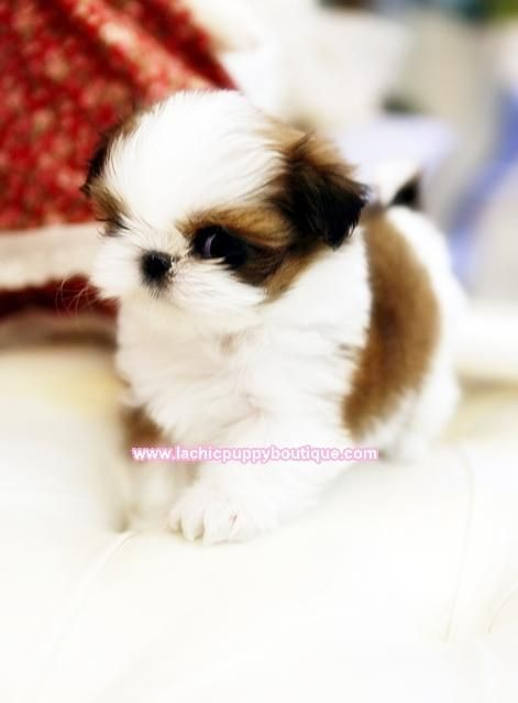 Micro Tiny Teacup Shih Tzu