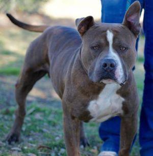 Clarke Gable Adoptable Dog Adult Male Mixed Breed Dog Adoption