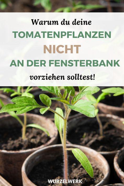 Kraftige Tomaten Selber Ziehen Und Pikieren Garten Bepflanzen Tomaten Pflanzen Und Garten Pflanzen
