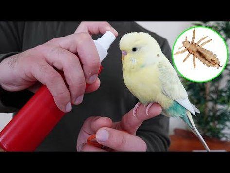 Yaz Geldi Bitlere Dikkat Muhabbet Kusu Papagan Bit Spreyi