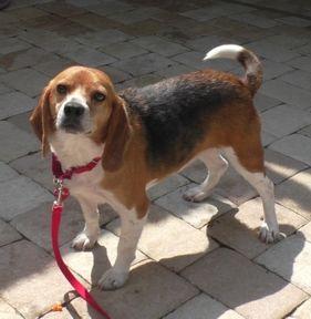 Beagle Dog For Adoption In Tampa Fl Adn 497203 On Puppyfinder
