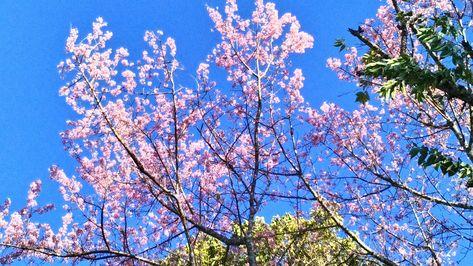 Tleizawng Par Cherry Blossom Cherry Blossom Beautiful Tree Blossom