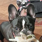 French Bulldog Rescue Network Dottie In Oh Dogs To