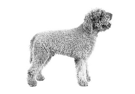 Kamila Has Lagotto Romagnolo Puppies For Sale In Bakersfield Ca On Akc Puppyfinder In 2020 Lagotto Romagnolo Puppy Puppies For Sale Puppies