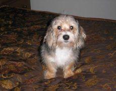 Malteagle Maltese Beagle Mix Info Puppies Pictures Beagle
