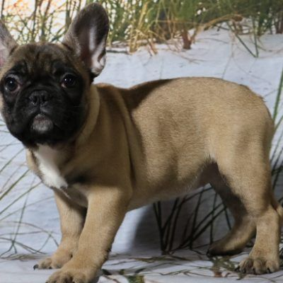Gracie A Female Akc French Bulldog For Sale In Indiana Akc