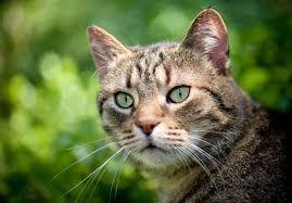 Aiheeseen Liittyva Kuva Pixie Bob Cats Dog Cat Pictures