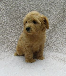 Growing Puppies Virginia Schnoodle Breeder Hypoallergenic Dogs