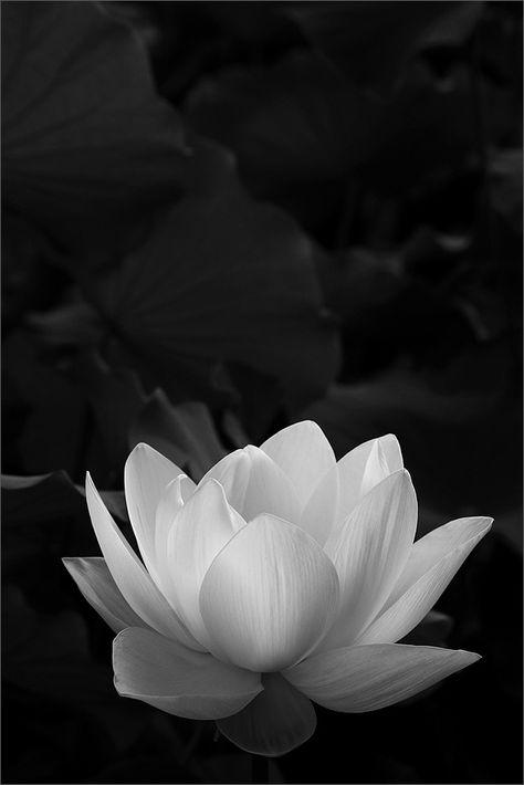 поздравить наступающим черно белое фото цветка лотоса хорошего разрешения самыми любимыми объектами