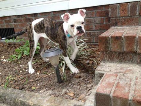 11 best Mix Breed Dog images on Pinterest | Dog breeds, Species of ...