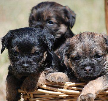 Epingle Sur Border Terrier