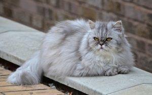 Fonds D Ecran De Chats Persan A Telecharger Gratuitement In 2020 I Love Cats Cat Lovers Animals