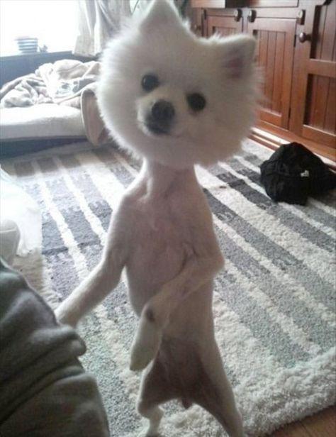 25 Adorably Tragic Half Shaved Animals Funny Looking Animals Shaved Animals Dumb Dogs