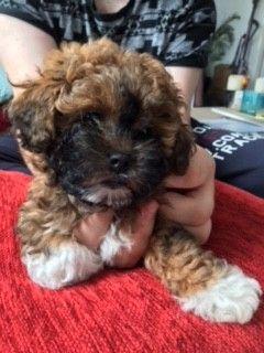 Beautiful Shihpoo Puppies Shih Poo Puppies Poodle