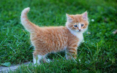 Download Wallpapers Ginger Kitten Little Cute Fluffy Kitten Cute Animals Pets Cats Besthqwallpapers Com Gingerkitten In 2020 Fluffy Kittens Cute Fluffy Kittens