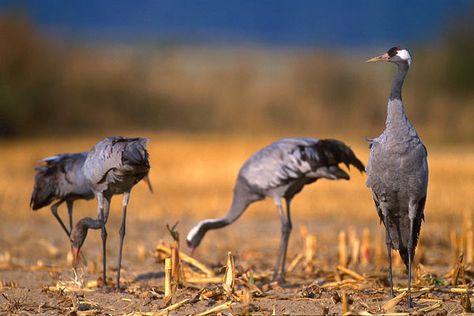 Trane Fugl Fugle Billeder Dyr