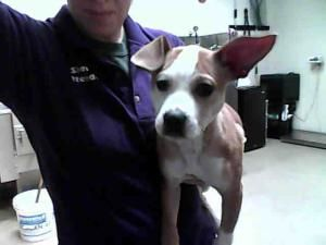 Skylar Is An Adoptable Boxer Dog In Fayetteville Nc Boxer